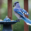 Blue Jay balances on the rim of a bird feeder before snagging a wet peanut.