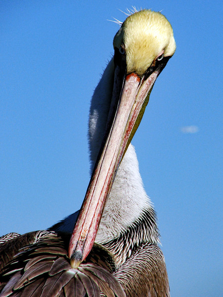 Pelican stares me down