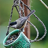 Carolina Chickadee finds a cache of bird seeds in a dangling cup