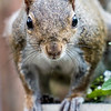 Squirrel looks into the camera lens