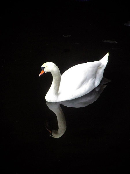 Black water, white swan. River Clyde, Glasgow.