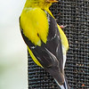 American Goldfinch on the outside of a Njyer Feeder