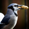 Bluejay catches two peanuts on the fountain