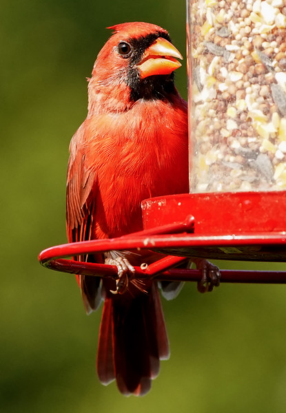 A Male Northern Cardinal on the rim of the bird feeder.