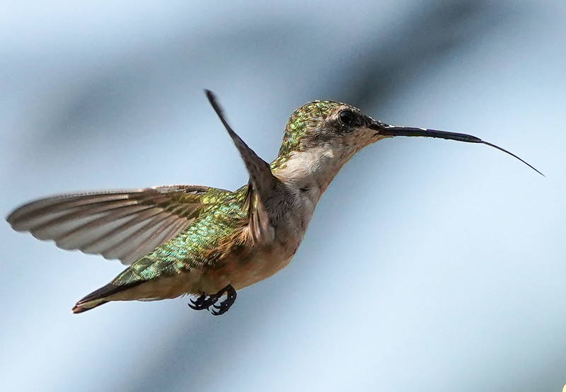A Rufous Hummingbird hovers in the air.