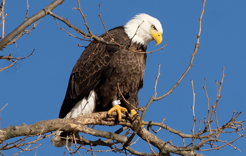American Bald Eagle up in a tree