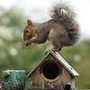 Garden Squirrel balances on a Bird House.