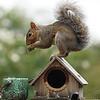 Garden Squirrel balances on a Bird House.