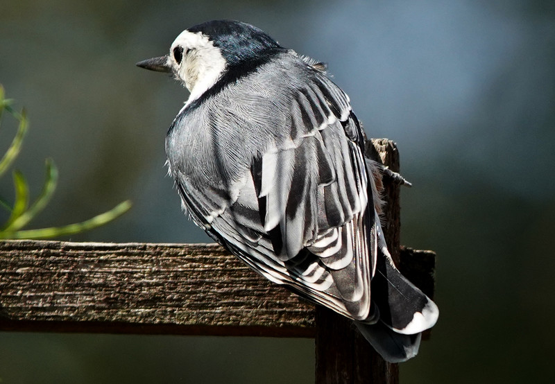 Little Nuthatch sits on the fence.