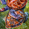 Giant Cayman Turtles