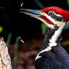 Pileated Woodpecker at the bottom of the garden