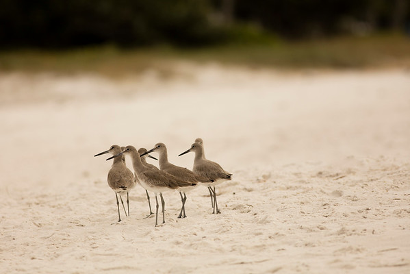 Wandering Willets