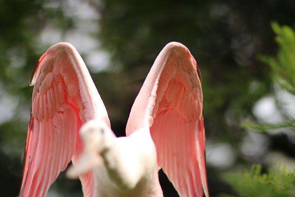 Angelic Roseate