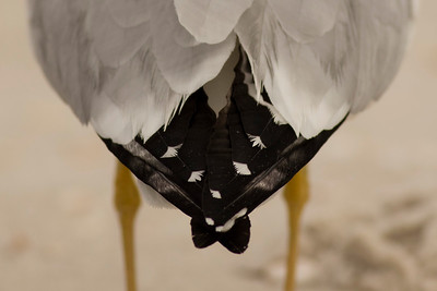 Black Tie Seagull