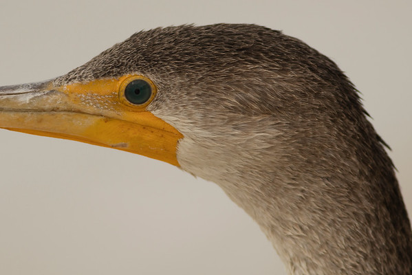 Cormorant with Three Day Stubble