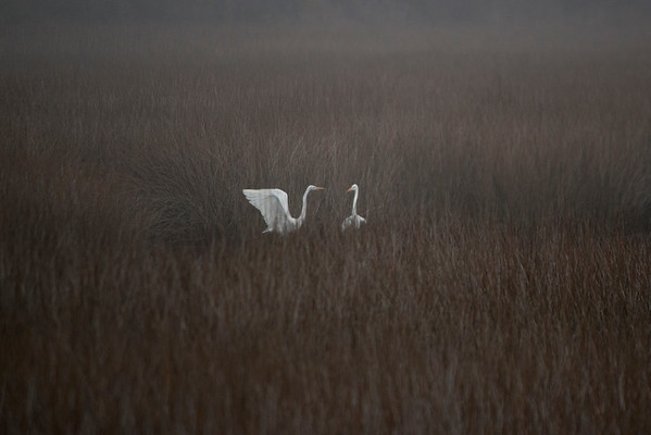 Two Egrets in the Fog