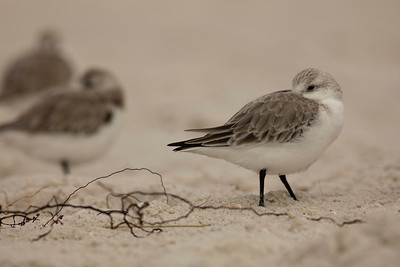 Least Sandpiper with Vines