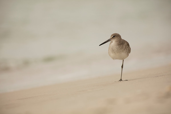 Slanted Sandpiper