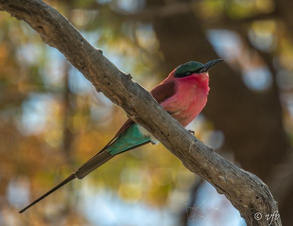 Carmine Bee-eater