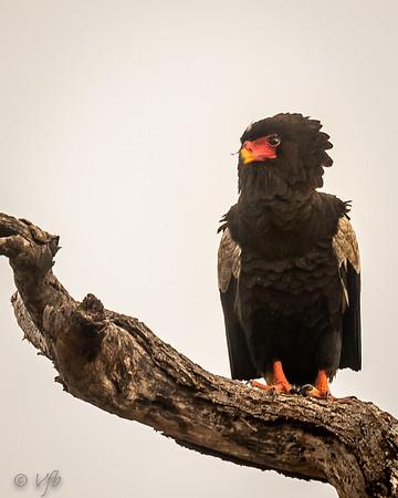 Bateleur (Eagle)