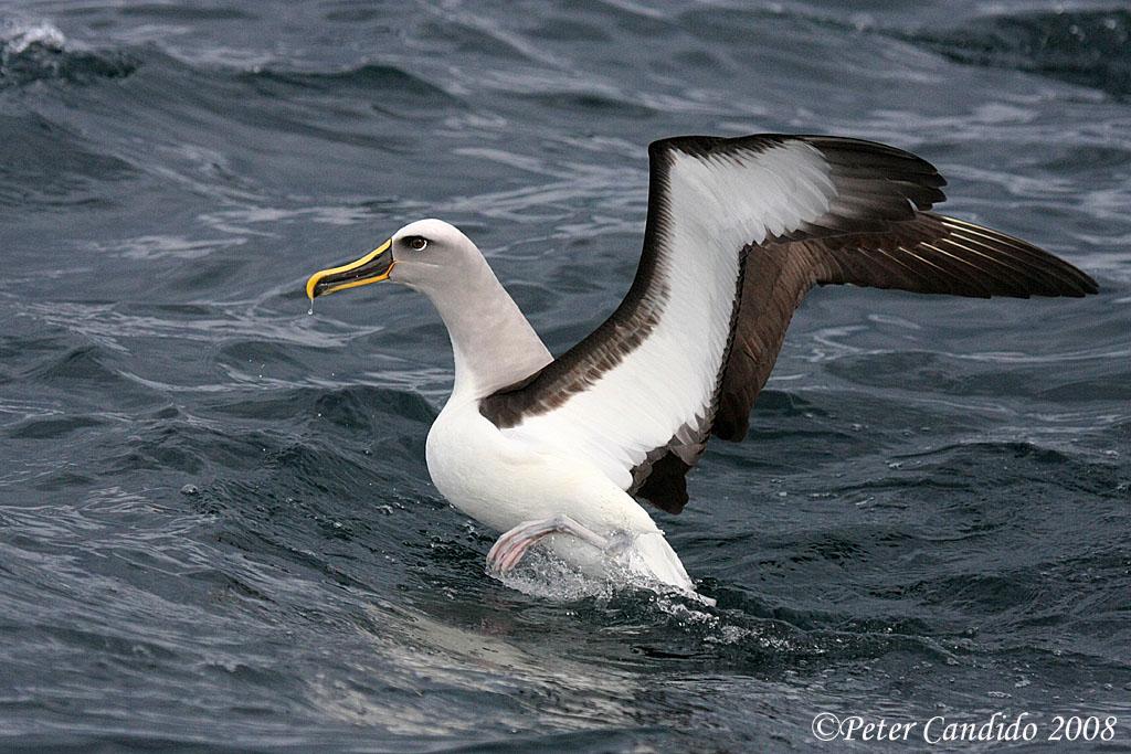 Buller's Albatross on takeoff