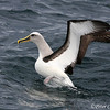 Buller's Albatross on takeoff