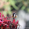 Eastern Spinebill on Gymea Lily
