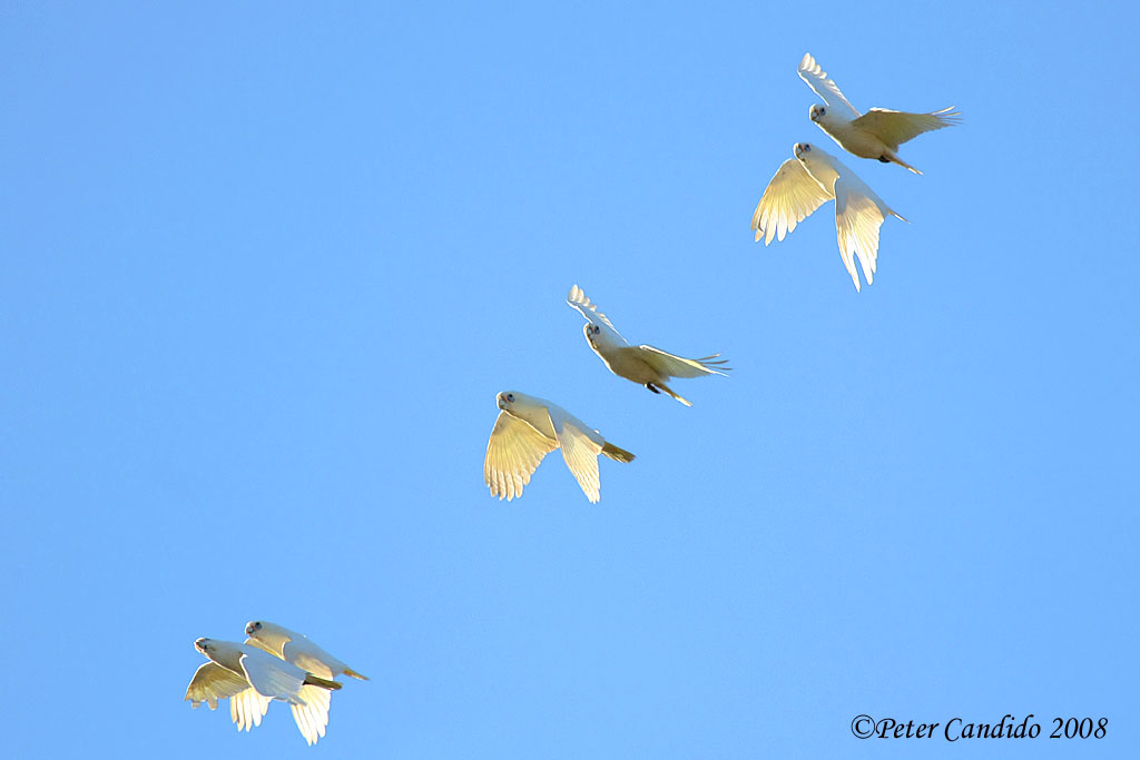 Little Corellas in flight