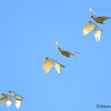 Little Corellas in flight