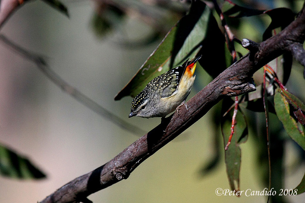 Spotted Pardalote, female