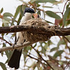 Restless Flycatcher, at nest