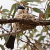 Restless Flycatcher, at nest