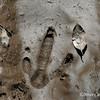 Southern Cassowary footprint