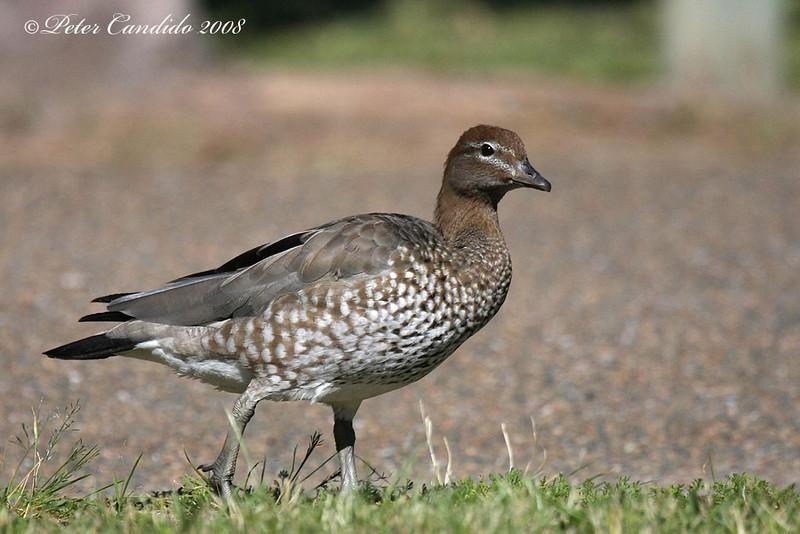 Maned Duck, female