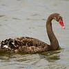 Black Swan juvenile