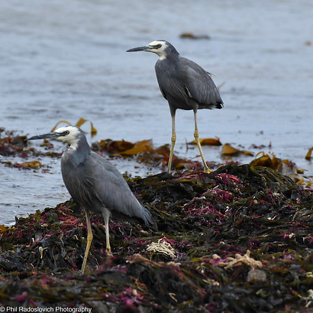 White Faced herons