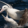 Shy (White-capped) Albatross with Southern Royal Albatross