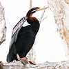 Australasian Darter, male