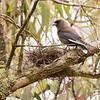 Dusky Woodswallow at nest