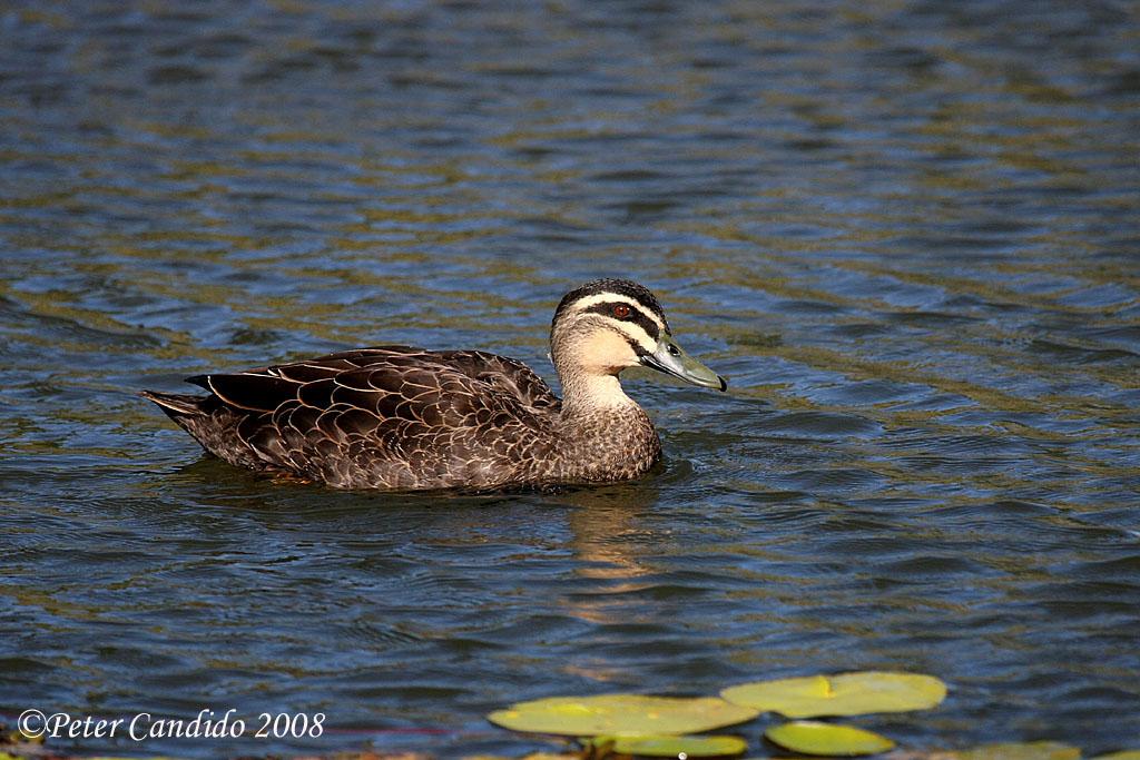Pacific Black Duck, male