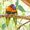 Rainbow Lorikeet, Red-collared form