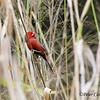 Crimson Finch, male