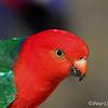 Australian King-Parrot, male