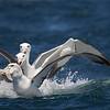 Shy (White-capped) Albatross with two  Southern Royal Albatross