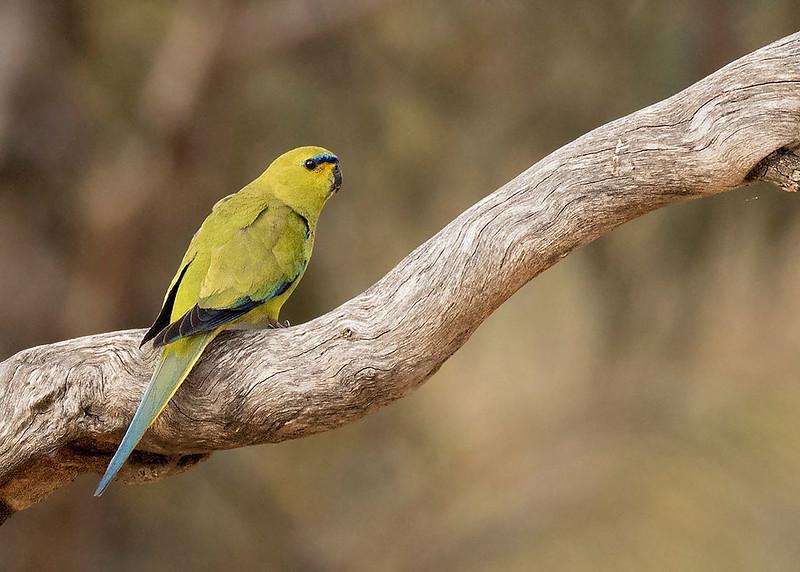 Elegant Parrot