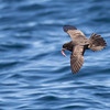 Gray-faced Petrel