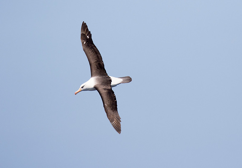 Black-browed (Campbell) Albatross