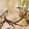 Red Wattlebird, adult with chick