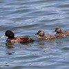 Blue-billed Duck, male with young