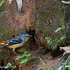 Spotted Pardalote, male at nest burrow